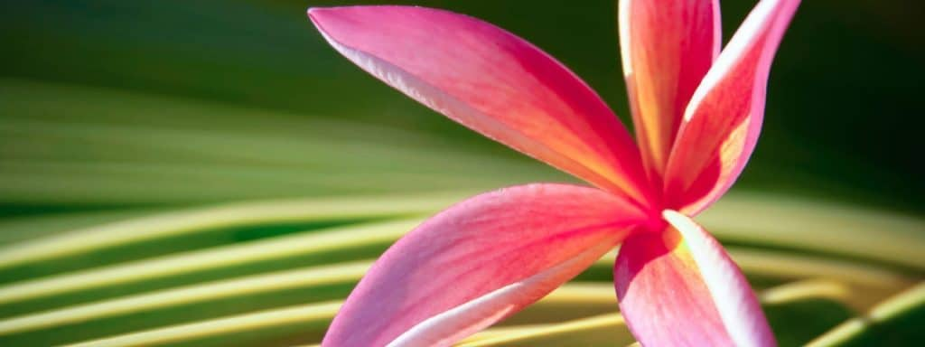 plumeria-body-care-skin-plumeria-coconut-plumeria-scent-fragrance-plumeria-hawaii-maui-plumeria