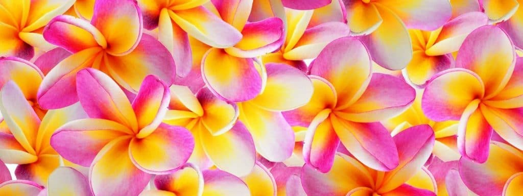 Plumeria Sale! Everything Plumeria is on sale!