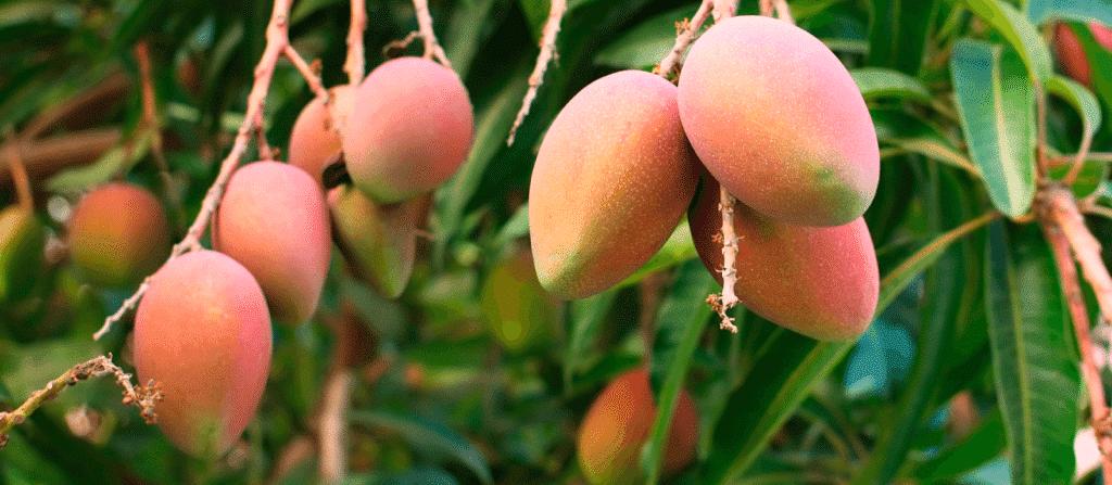 Mangos-hanging-in-hawaiian-tropical-soap-handmade-hawaii-best-company-coconut | Maui Soap Company