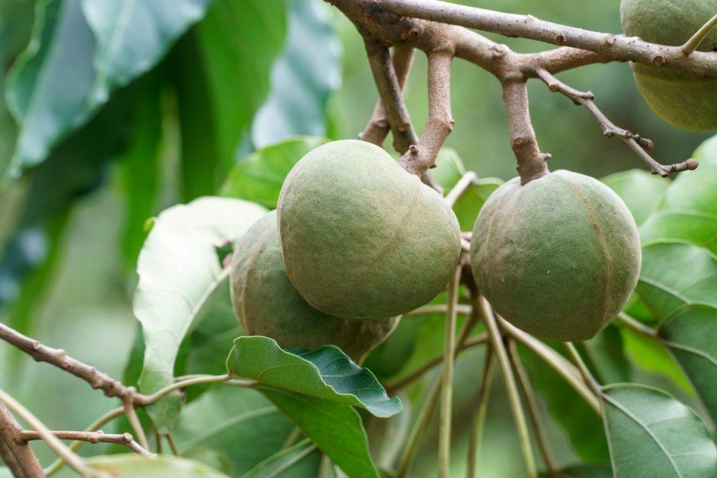 Candlenut or kukui