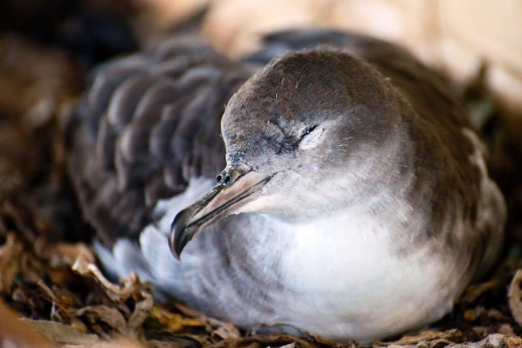 Wedged-tailed Shearwater